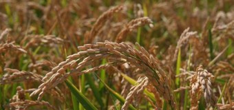 Το 10% της ελληνικής παραγωγής ρυζιού παράγεται στις Σέρρες με τους «Έξυπνους» ορυζώνες