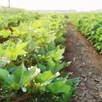 Oδηγίες για την αποφύλλωση του βαμβακιού στις Σέρρες