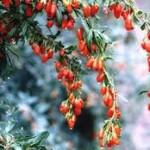 Γκότζι: Ένα «θαυματουργό» ασιατικό φρούτο…