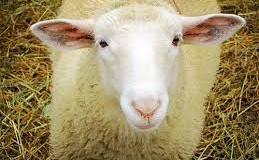 Δείτε το πρόβατο που νομίζει ότι είναι σκύλος (video)
