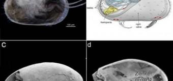 Βρέθηκε το αρχαιότερο απολιθωμένο σπερματοζωάριο (και είναι μεγάλο)