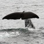 Τα κόπρανα της φάλαινας φυσητήρα μπορούν να σε κάνουν πλούσιο!