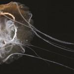 Νέο είδος μέδουσας ανακαλύφθηκε στη Λιμνοθάλασσα της Βενετίας