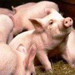Σέρρες: Ζωοκλέφτης άρπαξε κοπάδι με μικρά γουρουνάκια!