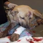Φυλάκιση χωρίς αναστολή σε Σερραίο για κακοποίηση σκύλου
