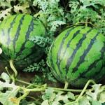 10 πράγματα που δεν ξέρετε για το καρπούζι!