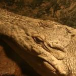 Βύρωνας: Ο κροκόδειλος… προκάτοχος του Σήφη που τρελαίνει τις Σέρρες εδώ και δέκα χρόνια [εικόνα]